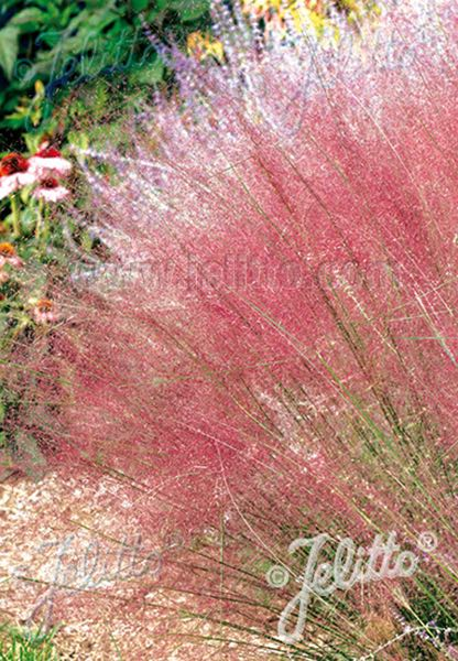 Pink Muhlygrass Ornamental Grass Seeds Perennial Flower Seeds
