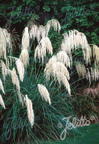 Toe Toe Ornamental Grass - Cortaderia richardii
