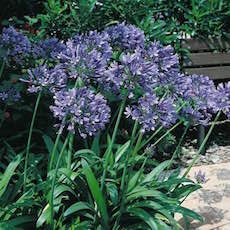 Bright blue agapanthus flowers