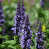 Astello Indigo agastache plant blooming.