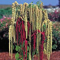 Amaranthus blooms make unqique additions to floral arrangements.