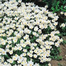a drift of Madonna snowdrop anemones