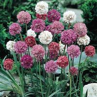 Armeria flowers in pink, white, and red