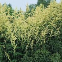 Artemisia lactiflora plant in flower