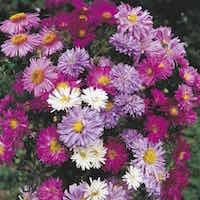 New York Aster blossoms in pink, lavender, red, and white shades