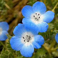 Plant Baby Blue Eyes seed with Dame's Rocket . Annual seeds.