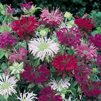 Delphinium bee balm in a mixture of bright colors