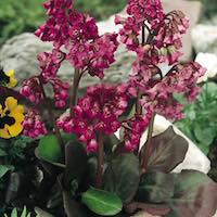 Bergenia plants with red blooms