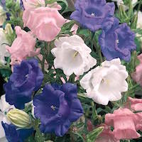 Cup and Saucer Mix campanula with bell shaped flowers in a mix of colors.