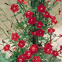 A vigorous climber with cardinal red flowers. Can climb 10 to 15 feet tall or more.