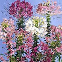 Cleome are long-lasting cut flowers.