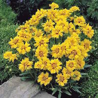 Coreopsis plant with yellow semi-double blooms