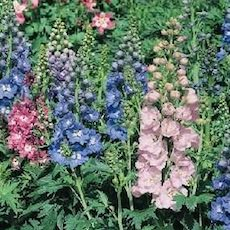 magic fountains delphinium