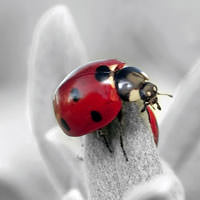Silverdust Dusty Miller with ladybug