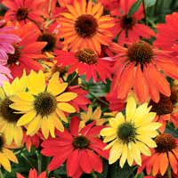 Echinacea blooms in purple, gold, scarlet, and orange