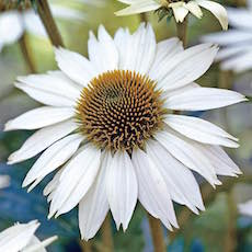 Bee visits white Echinacea blossom
