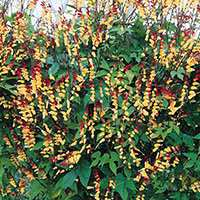Firecracker Vine grows 10 feet tall or more.
