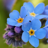 Forget-me-not blooms