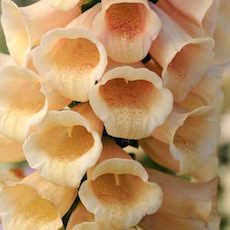 Foxglove Carillon with yellow tubular flowers.