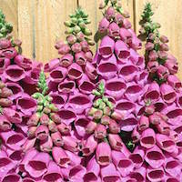 Polka Dot Princess Foxglove flower spikes.