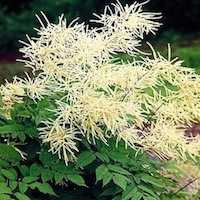 Goat's Beard plant in bloom