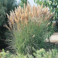 New Hybrids Miscanthus showing autumn gold shades