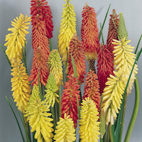 Torch lily blossoms in shades of yellow, orange, and red.