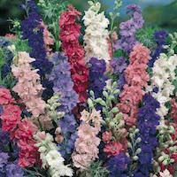 larkspur mix of colors.