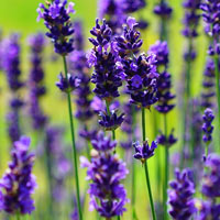 Ellagance Purple lavender blooms