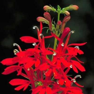 Bright-scarlet perennial lobelia flower spikes.