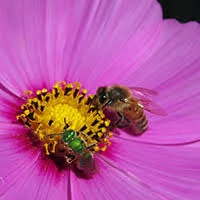 Bees love cosmos flowers.