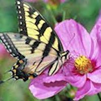 Butterflies love cosmos flowers.