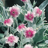 Rose campion with silver leaves and pink and white flowers