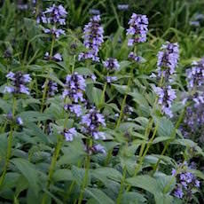 Nepeta Blue Dreams