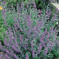 shrubby growth and flowers of Select Blue catmint