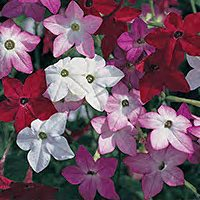 Nicotiana adds bright colors and fragrance to your bouquets.