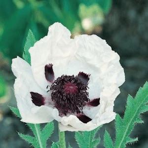 Large Oriental Poppy flowers