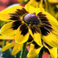 Gold and rusty red Denver Daisy Rudbeckia flower petals