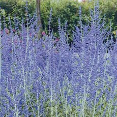 Silver foliage, blue flowers of Russian Sage.