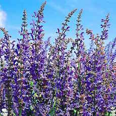 Bright blue salvia blooms