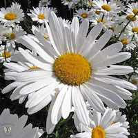 Crazy Daisy shasta daisy with white, frilly, double flowers.