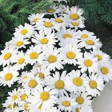 Shasta Daisy blooming.