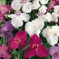 spiderwort blooms in white, red, and purple
