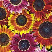 Grow sunflowers in your cutting garden.