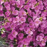 Wall Rockcress