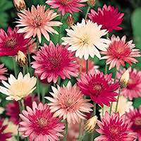 Xeranthemum flowers are great cut flowers, fresh or dried.