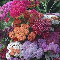 Red, rose, and violet blooms of Flowerburst Red Shades yarrow.