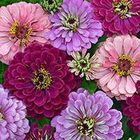 Zinnias are excellent for cutting.