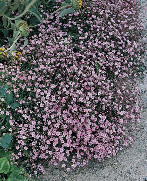 Baby's Breath Pink Creeping - Gypsophila repens rosea baby's breath