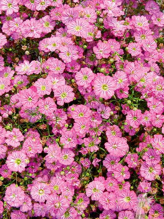 Gypsy Deep Rose baby's breath seeds - Gypsophila muralis